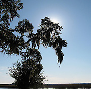 Winter Sun through southern Oaks with hanging Spanish Moss on St. Simons Island.