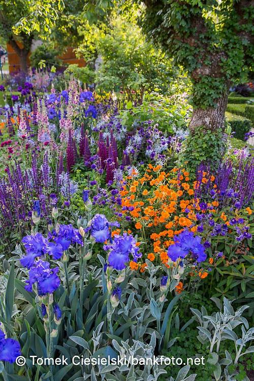 View of flowerbed with, Iris 'Mer du Sud', Cirsium rivulare 'Atropurpureum',  Verbascum 'Merlin'
