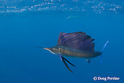 Atlantic sailfish, Istiophorus albicans ( considered by some to be a single species worldwide, Istiophorus platypterus ), lit up with bright colors indicating an excited state, off Yucatan Peninsula near Contoy Island and Isla Mujeres, Mexico ( Caribbean Sea )