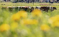 THEMENBILD - eine Kuhherde grasen auf einem Feld. Der Löwenzahn blüht in strahlendem gelb, aufgenommen am 02. Mai 2019, Kaprun, Österreich // Cows graze in a field. The dandelion blossoms in brilliant yellow on 2019/05/02, Kaprun, Austria. EXPA Pictures © 2019, PhotoCredit: EXPA/ Stefanie Oberhauser