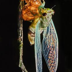 A cicad is still clinging to the old exoskeleton after moulting on a bark of a tree trunk in the rainforest of Ecuador - Eine Zikade im Regenwald Ecuadors hängt nach einer Häutung noch an der alten Hülle an der Rinde eines Baumes
