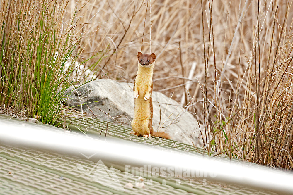 A Long Tailed Weasel stands on a walkway over a canal at a local wetland refuge this weasel is very at home in the marsh.