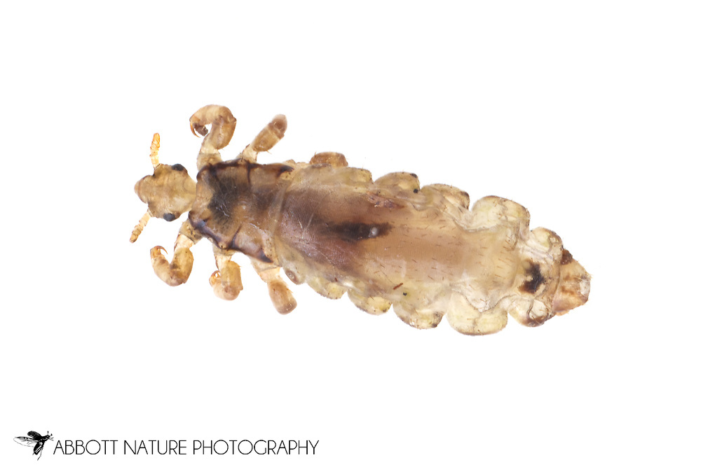 Head Louse (Pediculus humanus capitus)<br /> TEXAS: Travis Co.<br /> Brackenridge Field Laboratory<br /> Austin<br /> J.C. Abbott &amp; K.K. Abbott