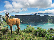 "A llama baby stands on the rim of Quilotoa. Quilotoa, a tourist site of growing popularity, is a scenic water-filled caldera that is the westernmost volcano in the Ecuadorian Andes. The 3 kilometers (2 mile) wide caldera (diameter about 9km) was formed by the collapse of this dacite volcano following a catastrophic VEI-6 eruption about 800 years ago, which produced pyroclastic flows and lahars that reached the Pacific Ocean, and spread an airborne deposit of volcanic ash throughout the northern Andes. The caldera has since accumulated a 250 meter (820 foot) deep crater lake, which has a greenish color from dissolved minerals. Fumaroles are found on the lake floor and hot springs occur on the eastern flank of the volcano. The route to the ""summit"" (the small town of Quilotoa) is generally traveled by hired truck or bus from the town of Zumbahua 17 km to the South."