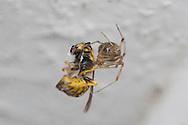 Female Common House Spider (Achaearanea tepidariorum) with Yellowjacket hornet prey