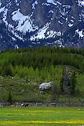 Horses graze a pasture inside Grand Teton National Park covered in the first bloom of wildflowers. Garnet Canyon with winter snowpack sits above freshly greened Aspen groves.