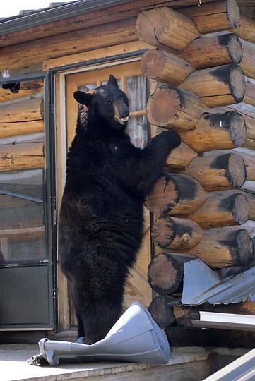 Urban Wildlife/Black Bear (Ursus  americanus) at residential log home. Bozeman, Montana