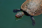 This Gulf Snapping Turtle is a direct descendant of 15 million year old fossil turtles found at the nearby Riversleigh deposits.