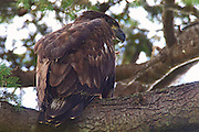 A juvenile bald eagle (Haliaeetus leucocephalus) sits on a branch over its nest. Nearly eight weeks old, this eaglet repeatedly climbed to this branch and then jumped down and glided into the nest, several feet below. A little over one week later, this eaglet made its first flight.