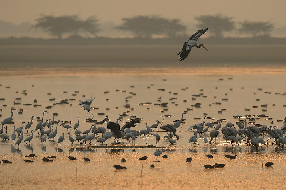 Spot-billed Pelican, Pelecanus philippinensis, Great white egret, Casmerodius albus, Little egret, Egretta garzetta, Eurasian flamingo, Phoenicopterus ruber, Spoonbill, Platalea leucrodia, Pulicat Lake, Tamil Nadu, India