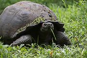 A Galapagos Giant tortoise walks through the Santa Cruz highlands.
