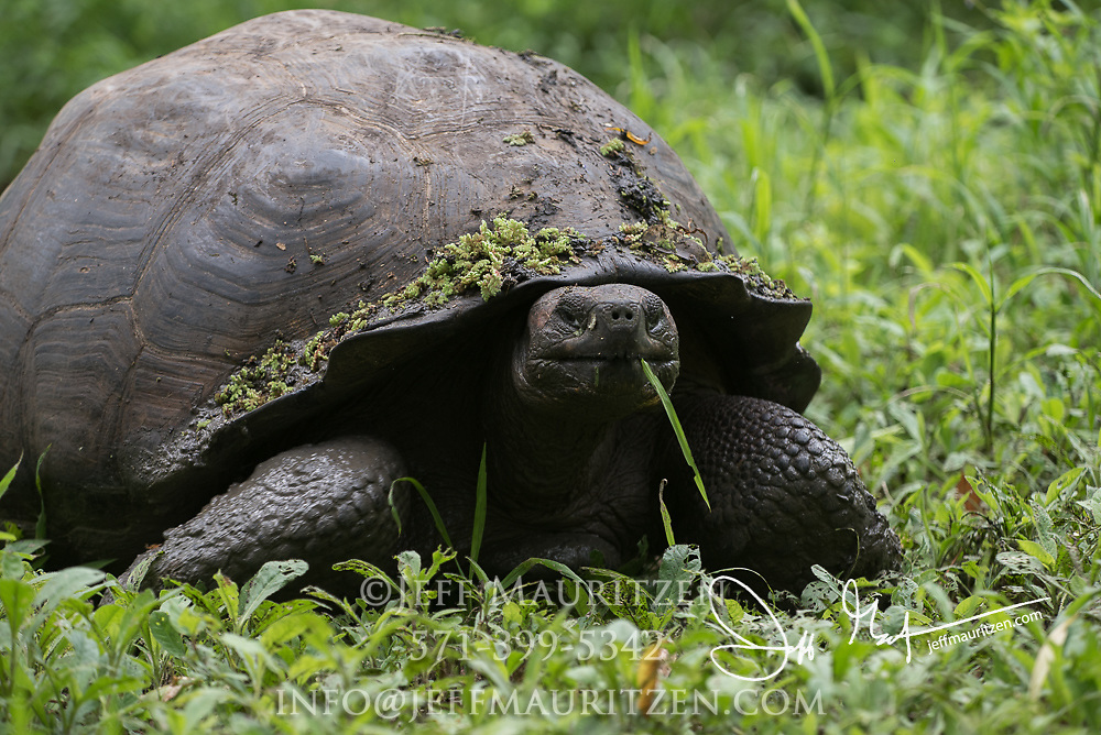 A Galapagos Giant tortoise walks through the Santa Cruz highlands.
