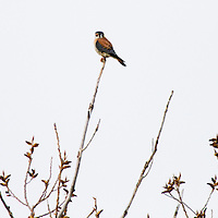 Perhaps the most colorful raptor in the world, the American Kestrel is the most common falcon in North America. It is found from Alaska to Tierra del Fuego, and in towns as well as wild lands.  Here it rests on a branch at Sandy Hook National Park part of the Gateway National Recreation Area.