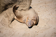 Elephant seal in San Simeon, CA throwing sand over itself.