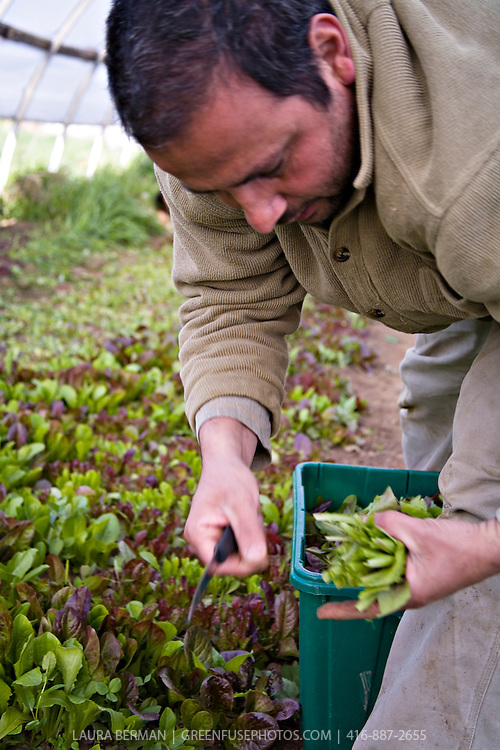 Spring greens harvest at Plan B Organic Farms.