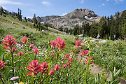 Beneath Round Top Mountain blooms the common red flower of Castilleja (Indian Paintbrush or Prairie-fire; in the family Orobanchaceae), a genus of about 200 species of plants native to the west of the Americas plus northeast Asia. Off Highway 88 near Carson Pass, hike a varied loop through lush wildflower fields from Woods Lake Campground to Winnnemucca Lake then Round Top Lake, in Mokelumne Wilderness, Eldorado National Forest, Sierra Nevada, California, USA. The excellent loop trail is 5.3 miles with 1250 feet gain (or 6.4 miles with 2170 feet gain if adding the scramble up Round Top).