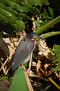 This is a photograph of a Green Heron.  Taken at Wakodahatchee Wetlands in Delray Beach, Florida.