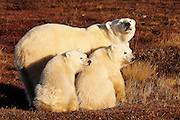 CANADA, Churchill (Hudson Bay).Polar bear (Ursus maritimus) sow with cubs