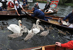 © licensed to London News Pictures. LONDON, UK.  18/07/11. A brood is rounded up by the Swan Uppers. Swan Upping takes place on the River Thames today (18 July 2011). Swan Upping dates from medieval times, when The Crown claimed ownership of all mute swans which were considered an important food source for banquets and feasts. Today, the cygnets are weighed and measured to obtain estimates of growth rates and the birds are examined for any sign of injury, commonly caused by fishing hook and line. The cygnets are ringed with individual identification numbers by The Queen's Swan Warden, whose role is scientific and non-ceremonial. The Queen's Swan Marker produces an annual report after Swan Upping detailing the number of swans, broods and cygnets counted during the week. Mandatory Credit Stephen Simpson/LNP