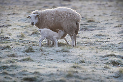 © Licensed to London News Pictures. 23/03/2020. Guyzance, UK. Lambs feed at sunrise on a frosty morning on farmland near the hamlet of Guyzance in Northumberland, northern England. Photo credit: Ben Cawthra/LNP