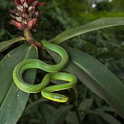 Green Trinket Snake (Gonyosoma prasinum) in Kaeng Krachan national park, Thailand