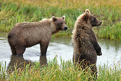 North American brown bear /  coastal grizzly bear (Ursus arctos horribilis) sow with cub standing up along a creek looking, Lake Clark National Park, Alaska, United States of America