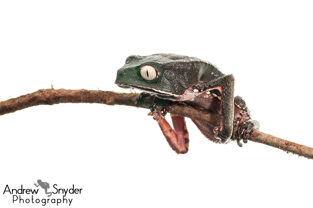 White-lined tree frog (Phyllomedusa vallaintii) - Chenapau, Guyana