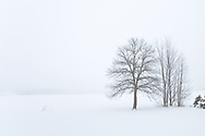 Bare, leafless trees stand alone in the snow and shrouded in fog on a cold winter day.