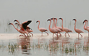 Lesser Flamingoes (Phoenicopterus minor) from Lake Nakuru, Kenya.
