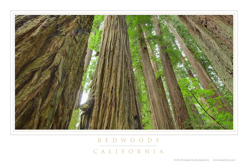 California Redwoods Poster