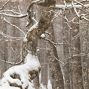 Beech trees in the snow with a other shape beech tree in the front
