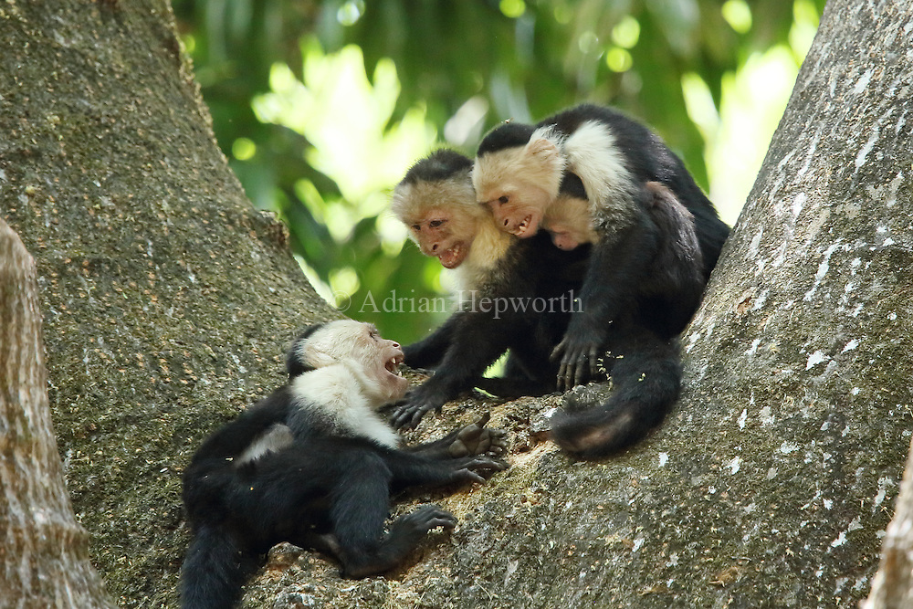 White-faced capuchin monkeys (cebus capucinus). Aggression between troup members. Palo Verde National Park, Guanacaste, Costa Rica.