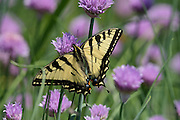 Canadian Tiger Swallowtail Butterfly on clover, North Berwick, Maine