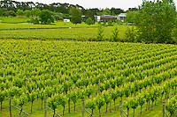 Vineyards, Villa Maria Estate Winery, Mangere, near Auckland, North Island, New Zealand