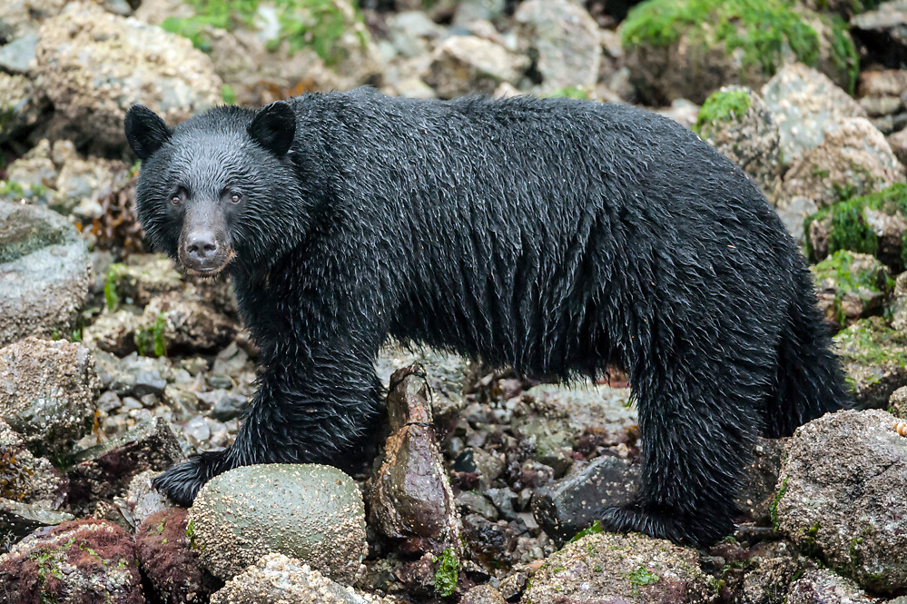 Black Bear, Ursus americanus vancouveri, searches for food at low tide along the beach in Clayoquot Sound, a UNESCO World Biosphere Reserve located near Tofino in the western coast of Vancouver Island, Bristish Columbia, Canada.