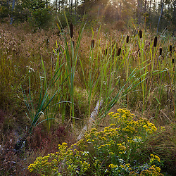 Cattails grow in a low spot in the Reed Plantation in Reed, Maine.