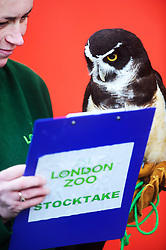 © Licensed to London News Pictures. 02/01/2014 London, UK. Elton the Spectacled Owl waits to be counted during the annual stocktake at London Zoo, Regents Park. <br /> Home to more than 800 unique species, zookeepers take stock of every invertebrate, bird, fish, mammal, reptile, and amphibian counting every animal in the annual stocktake.<br /> The compulsory count is required as part of London Zoo's license, the results are logged and the data is shared with zoos around the world to manage international breeding programmes. Photo credit : Simon Jacobs/LNP