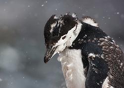 Molting Chinstrap Penguin (Pygoscelis antarctica) in Antarctica