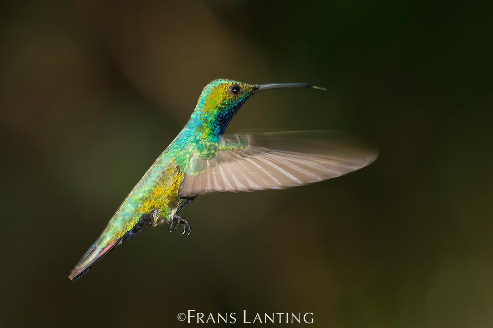 Black-throated mango male hummingbird in flight, Anthracothorax nigricollis, Iguazu National Park, Argentina