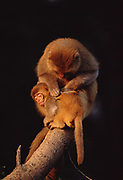 Rhesus Macaque mother grooming baby<br />