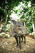 A friendly collared peccary. Petencito Zoo, Guatemala