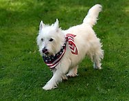 IVYLAND, PA - MAY 26:  Jack the West Highland Terrier runs in his yard while wearing an American flag scarf after the Ivyland Memorial Day Parade and Ceremony May 26, 2014 in Ivyland, Pennsylvania. (Photo by William Thomas Cain/Cain Images)