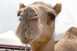01 August 2014:   McLean County Fair.  A camel is available for children to ride.