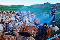 Mongolie, province de Bayankhongor, desinfection des chevres // Mongolia, Bayankhongor province, decontamination of goat