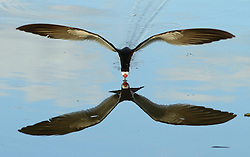 Black Skimmer, Rynchops niger, wings spread, above water with silhouette, Pantanal, Brazil, by Markus Lilje