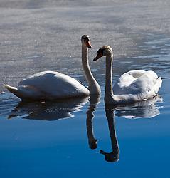 12.03.2011, Zeller See, Zell am See, AUT, Schwäne am Zeller See, im Bild zwei Schwäne spiegeln sich im Wasser, dahinter noch der zugefrorenen Zeller See, Themenbild // two swans reflected in the water, behind even the lake is frozen, Feature, EXPA Pictures © 2011, PhotoCredit: EXPA/ J. Feichter