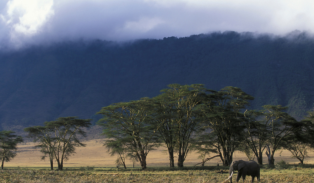 Africa, Tanzania, Ngorongoro Conservation Area, Bull Elephant (Loxodonta africana) feeding by Lerai Forest in Ngorongoro Crater