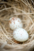 House Sparrow (Passer domesticus) nest with eggs