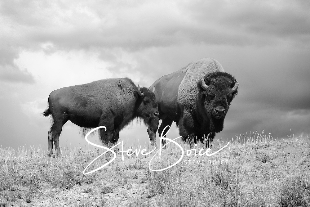 American bison in Yellowstone National Park black and white