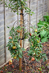 Apple tree with branches that have been bent and trained downwards to encourage better fruiting.